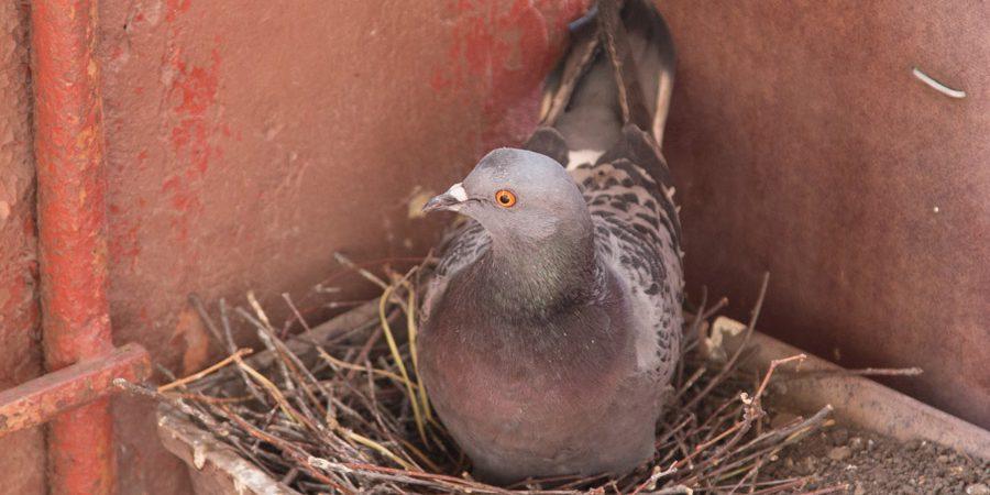 голуби свили гнездо на балконе примета