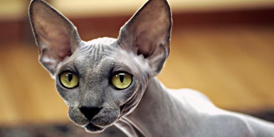 как вызвать египетского кота днем