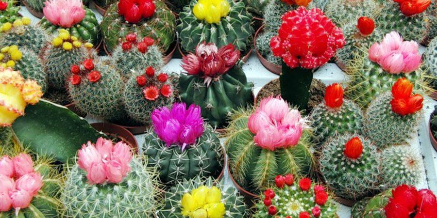можно ли держать дома кактусы приметы
