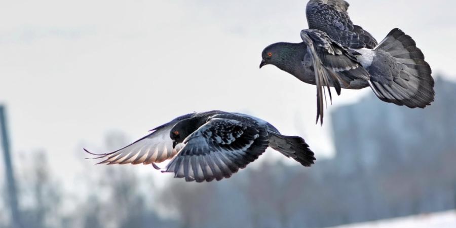 примета два голубя сели на подоконник